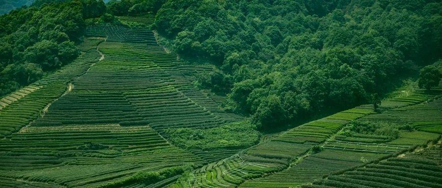 """湖北巴东:""""小案大办""""推动古茶保护开发双赢"""